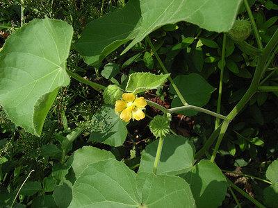 イチビの花