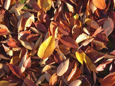ケヤキの落ち葉
