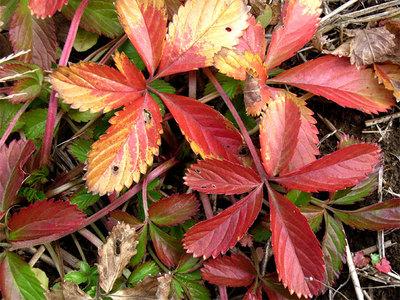 オヘビイチゴの葉