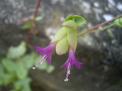 花オレガノ