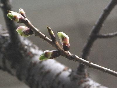 早咲きの桜の蕾