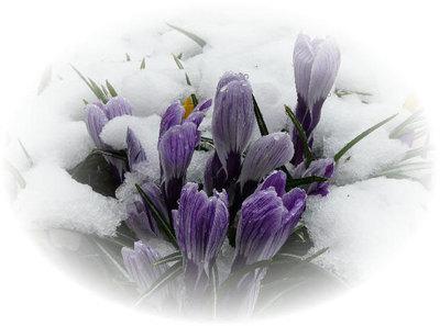 雪をかぶったクロッカス '08/03/31 福島県郡山市