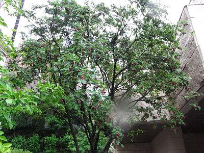 セイヨウザイフリボクの樹