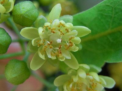 ボダイジュの花(拡大)