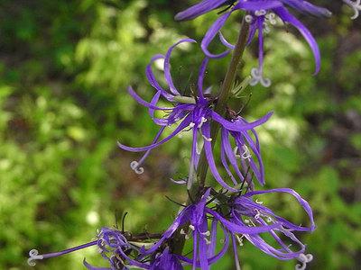 シデシャジンの花
