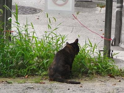 エノコログサを食む猫