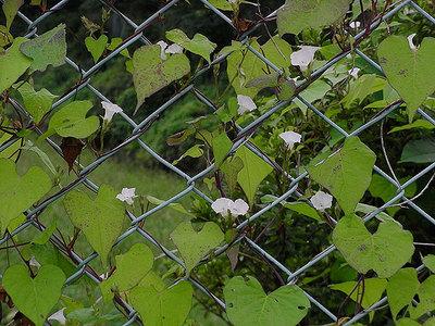 フェンスに絡みついたマメアサガオ