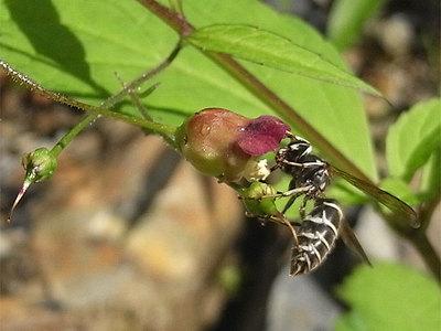 ヒナノウスツボとクロスズメバチ
