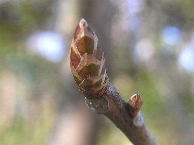 コクサギの冬芽