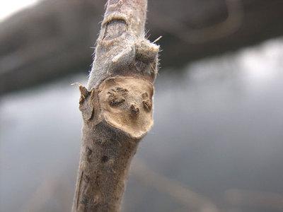 クズの葉痕