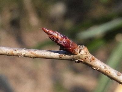 コナラ冬芽