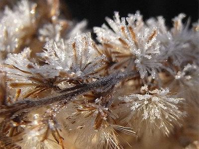 セイタカアワダチソウについた霜