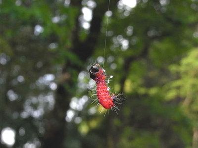 ゴマフボクトウの幼虫