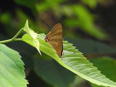 トラフシジミ(夏型)