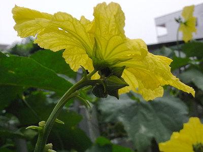 ヘチマ(雄花)