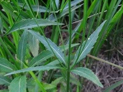 ツリガネニンジンの葉