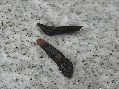 アガパンサスの種子