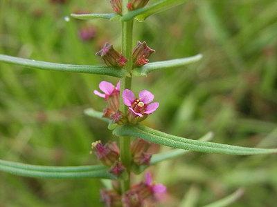 ホソバヒメミソハギの花