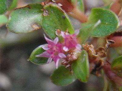 キカシグサの花
