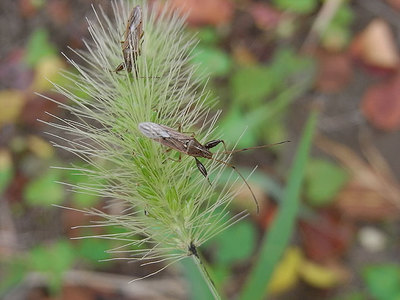 クロロスジヒゲナガカメムシ