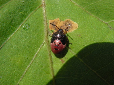 カメムシの幼虫