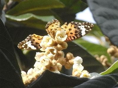 ビワの花とツマグロヒョウモン(♀)