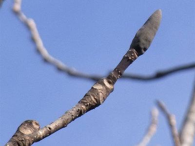 ホオノキの冬芽
