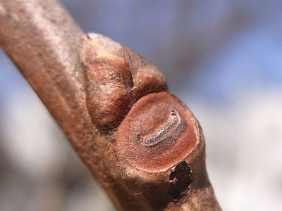 カキノキの冬芽と葉痕