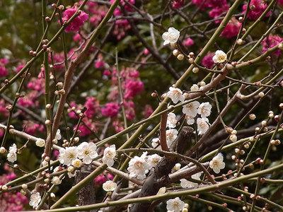 白梅と寒緋桜