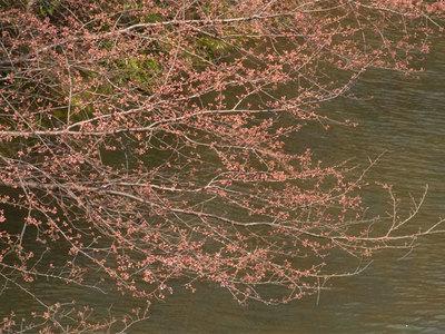 開花寸前の桜