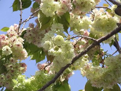 ウコン(桜)