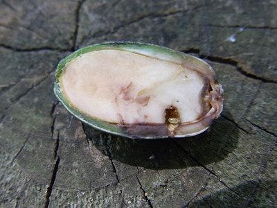 ハイイロチョッキリの卵