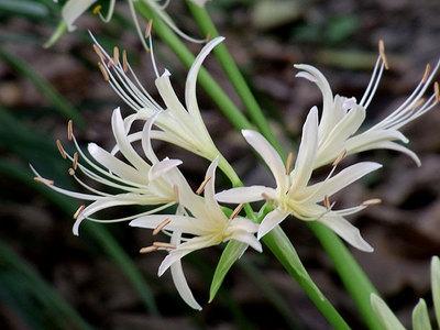 白花のヒガンバナ