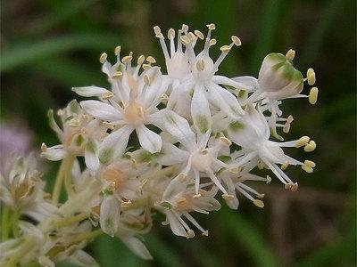 白花のツルボ