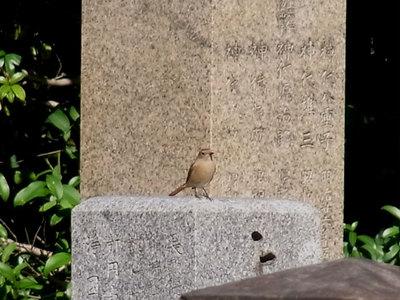 ジョウビタキ(♀)