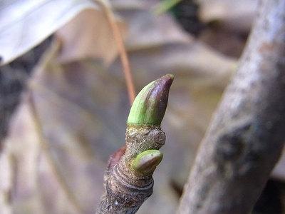 モミジバスズカケノキの冬芽