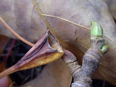モミジバスズカケノキの葉柄の基部