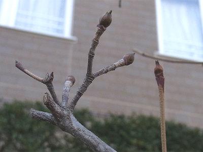 ヤマボウシの冬芽