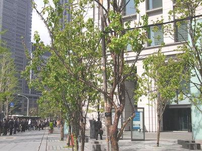 カリンの街路樹