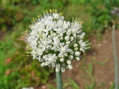 玉ネギの花