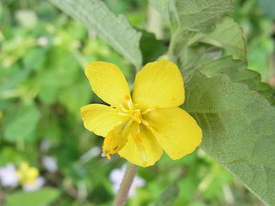 カラスノゴマ(花)