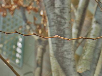 ケヤキの小枝