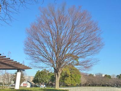 """カツラの樹"""""""
