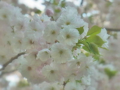 桜(イチヨウ)