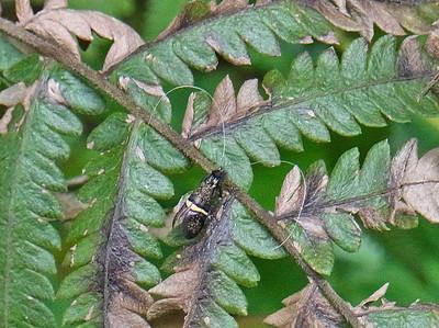 キオビクロヒゲナガ