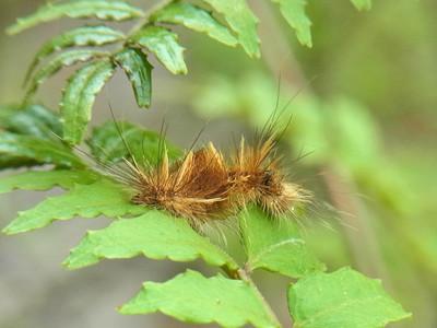 オビガの幼虫