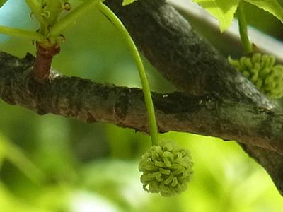 モミジバフウの雌花