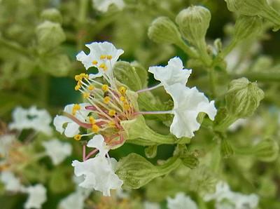 シマサルスベリの花