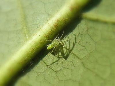 ウロコアシナガグモの幼体