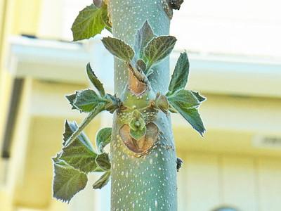 キリの新芽